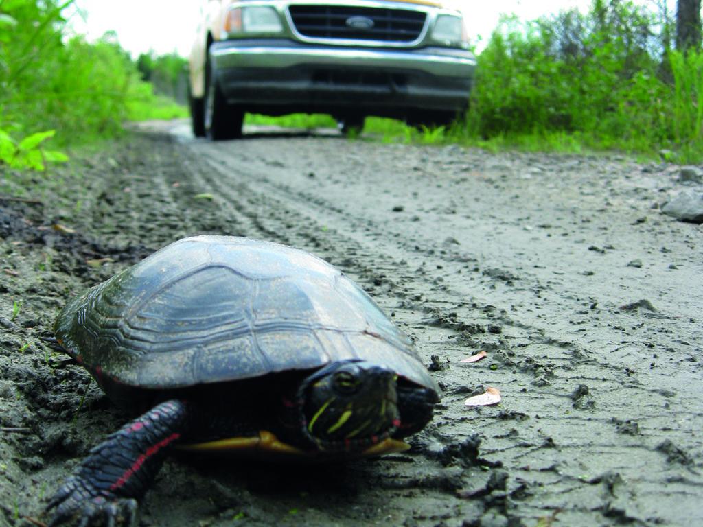 10% des observations sur la plateforme Carapace.ca rapportent des tortues mortes ou blessées. Les citoyens sont invités à enregistrer la présence de tortues vues sur les routes sur le site Carapace.ca et à prendre, le plus possible et sécuritairement, une photo pour joindre au formulaire. (Photo gracieuseté Carapace.ca - Yohann Dubois)