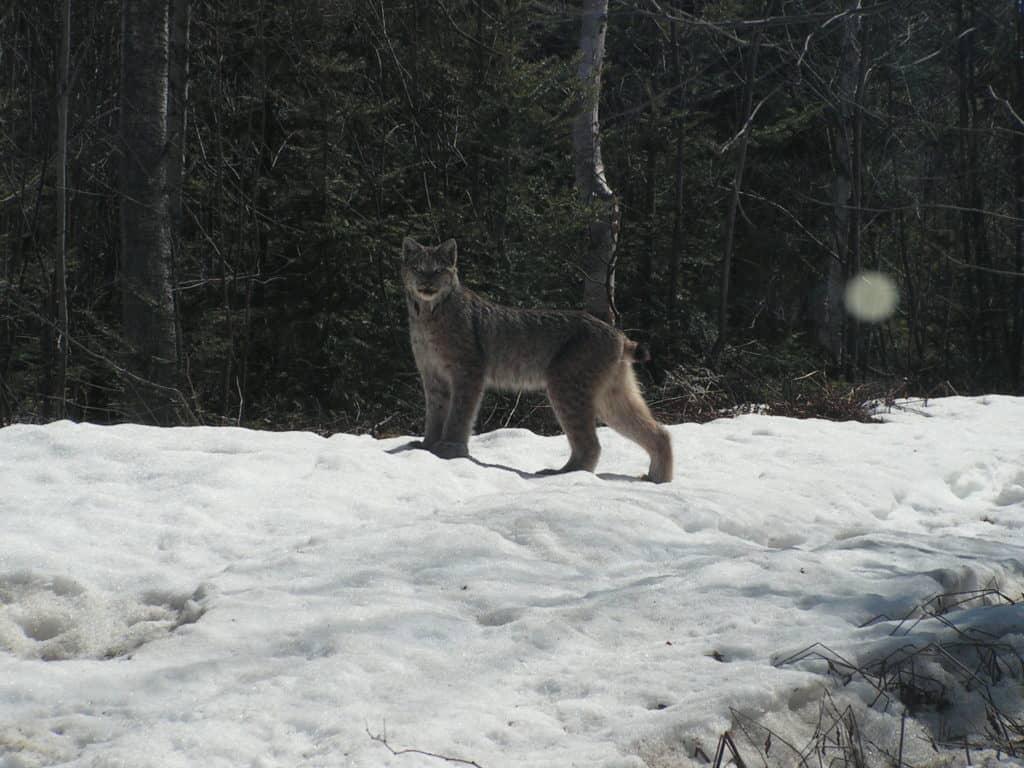 Apercevoir un lynx, inhabituel?